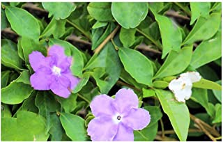 5 Seeds Brunfelsia pauciflora Floribunda Large Plant Variety Yesterday Today and Tomorrow Seeds Tropical Flower 3 Colors One Plant