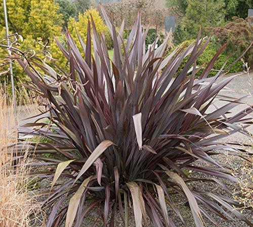 Neuseeland Flachs 20 Samen (Mischfarben) Phormium Samen