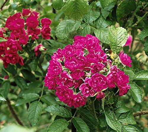 'F.J.Grootendorst', Strauchrose (Rosa rugosa Hybride) im 4 Liter Container