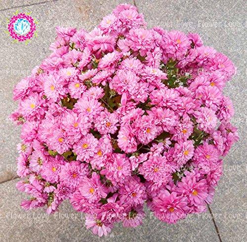 100pcs rose graines de chrysanthèmes Tapissant double fleur graines Chrysanthemum fleur bonsaï vivace plante en pot pour le jardin