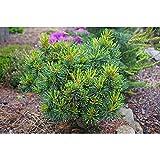 Pinus cembra - Zirbelkiefer - Ortler - 10-15 cm - 1 Stk