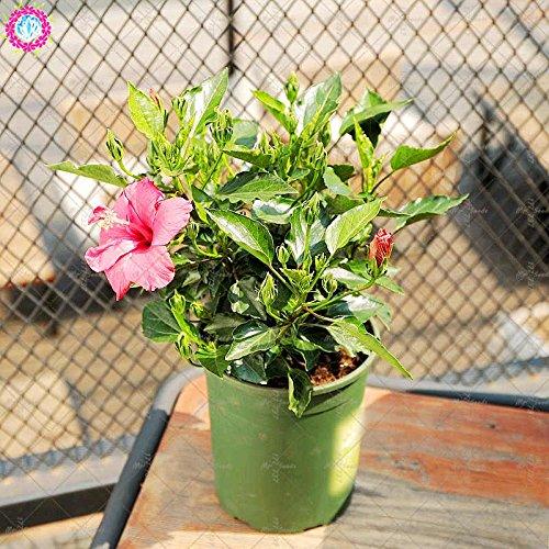 100PCS géant pétales de double graines d'hibiscus rares graines d'hibiscus bleu graines de fleurs Bonsai Plante vivace à l'intérieur pour le jardin à la maison 11