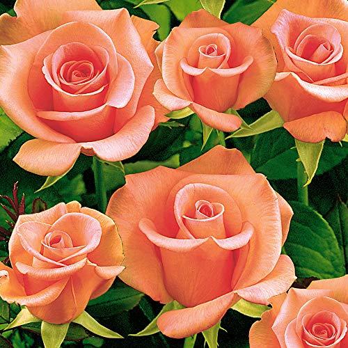 "Rosa""Salmon Beauty"" | Lachsfarbene Rose | Schnittblume | Lieferhöhe ca. 40cm"