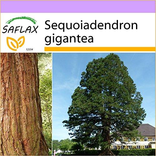 SAFLAX - Sequoia gigante - 50 semi - Sequoiadendron gigantea