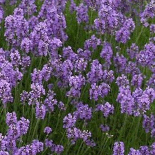 lavendelbl/üten perfekt f/ür ein Potpourri Lavendeltee 200g Lavendel Kr/äutertee Biologisch Angebauter Frankreich echte Bl/üten von Lavandula angustifolia Kr/äuter Tee