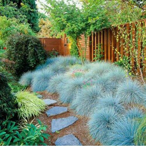 100 bleu fétuque Semences à gazon - (Festuca glauca) herbe ornementale plante vivace si facile à cultiver 1