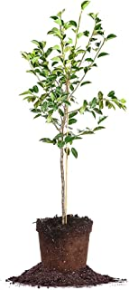 Hood PEAR Tree - Size: 3-4 ft, Live Plant, Includes Special Blend Fertilizer & Planting Guide