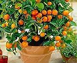 SwansGreen Der vendidos 20 semillas enana naranja mandarina Bonsai semillas comestibles Árbol frutal para jardín