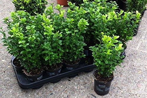 Hoher Buchsbaum, Buxus sempervirens arborescens 0,5 L Topf von PFD
