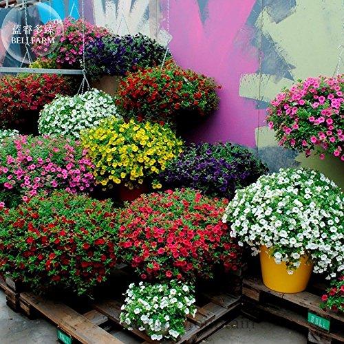 Kabloom Calibrachoa mixte Bonsai suspendu Pétunia, emballage professionnel, 200 graines, jaune rose rouge violet TS295T mixte