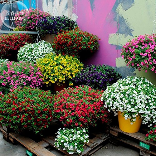 Kabloom Calibrachoa mixte Bonsai suspendu Pétunia, emballage professionnel, 200 graines, jaune rose rouge violet TS295T mixte