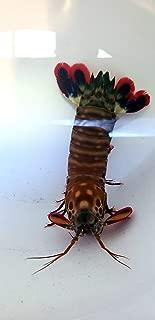 Siam Live Aquarium Peacock Mantis Shrimp - ODONTODACTYLUS SCYALLARUS - MED 3