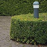 Ilex Dark Green® -Ilex crenata- Stechpalme Winterbeere Buchsbaum-Ersatz dunkel-grün...