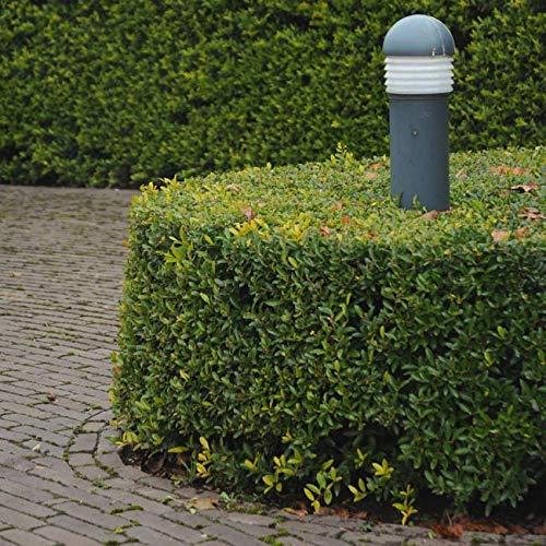 Ilex Dark Green® -Ilex crenata- Stechpalme Winterbeere Buchsbaum-Ersatz dunkel-grün schnittverträglich winterhart - Hecken-Pflanze von Garten Schlüter (9cm Topf - 10 bis 15cm) - in Top Qualität