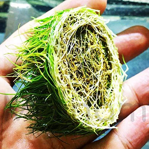 Dwarf Hairgrass Eleocharis Parvula Sp Mini 100% Tissue Culture Easy Freshwater Carpet Live Aquarium Plants Decorations 3 Days Live Guaranteed