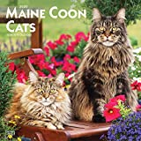 Maine Coon Cats 2020 12 x 12 Inch Monthly Square Wall Calendar, Animals Cats Maine Coon