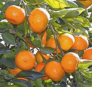 Satsuma Fruit Tree Real Live Plant Citrus 3