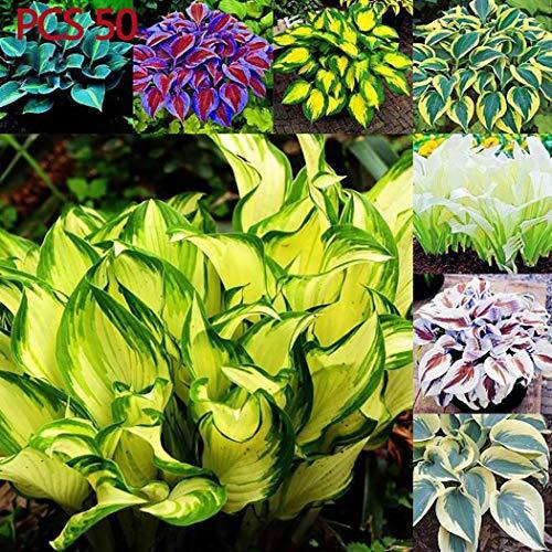 Qulista Samenhaus - 50pcs Bunte Funkien Hosta Herzblatt-Lilie langlebig Blumensamen Mischung winterhart mehrjährig für halbschattige und schattige Bereiche