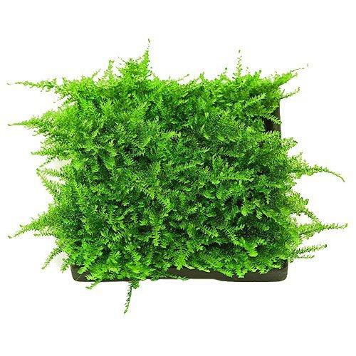 Live Aquarium Moss For Sale Christmas Moss Vesicularia montagnei in 80cc Cup