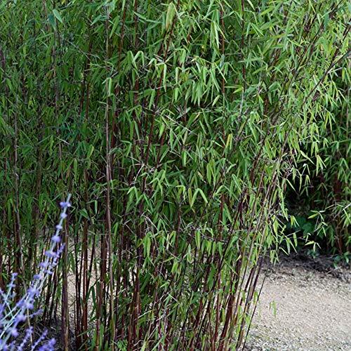 "Fargesia Nitida\""Jiuzhaigou\'\' | Roter Bambus | Lieferhöhe 50-70cm | Topfgrö?e Ø21cm"
