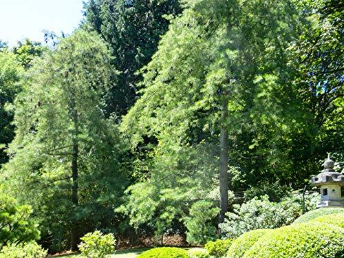 5 Semillas de Pinus Armandii (Pino Blanco)