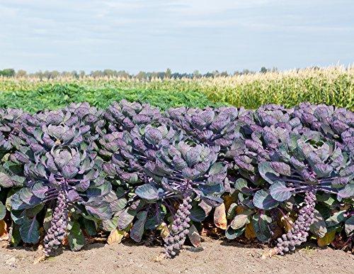 Rosenkohl Rosella 20 Samen Lila Farbe - Brussels Sprout Rozella