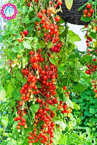 200pcs / sac de graines de tomates grimpante tomate cerise légumes graines bio arbre tomate pot bonsaï alimentaire non-OGM plante de jardin à domicile