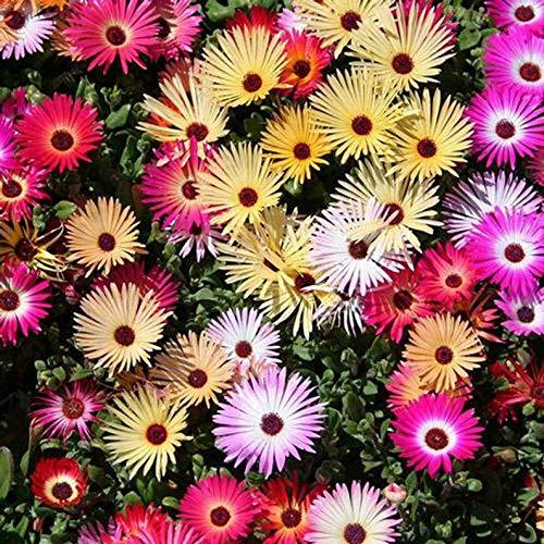 Ultrey Samenshop - Mittagsblume Samen Blumenmischung Bodendecker Studentenblume Sommerblumen Saatgut Blütenmeer für Garten Beet/Wiesen