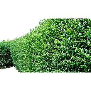 100 Green Privet Hedging Plants Ligustrum Hedge 40-60cm, Dense Evergreen, Potted 3fatpigs