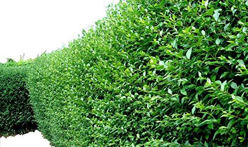 10 Green Privet Hedging Plants Ligustrum Hedge 30-50cm in 10cm Pots, Dense Evergreen 3fatpigs®