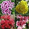 WuWxiuzhzhuo, 50 semi misti di geranio, pelargonium hortorum, pianta fiorita per balcone, giardino #3