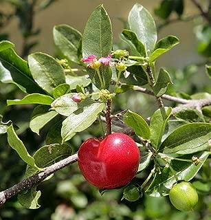 Barbados Cherry Plant - Malpighia punicfolia - Acerola - Indoors/Out - 6