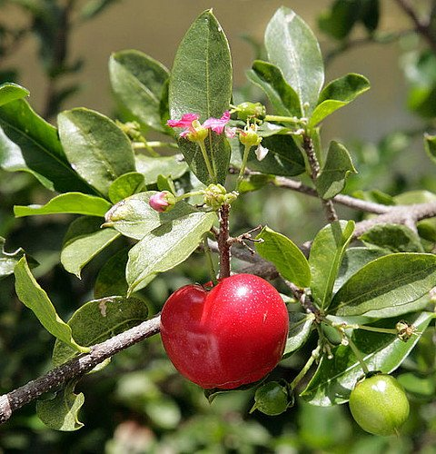 Barbados Cherry Plant - Malpighia punicfolia - Acerola - Indoors/Out - 6' Pot
