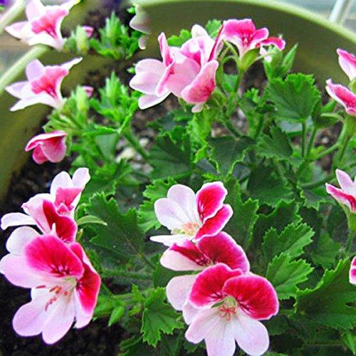 Hot Sale Rare deux couleurs Rouge Blanc univalve Géranium Semences Semences Vivace Fleur Pelargonium peltatum graines intérieure Chambres 30pcs