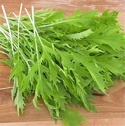 1g (Aprox. 600) Semillas de Mizuna, verdes japoneses, mostaza japonesa, Xiu Cai, Kyona, antioxidante muy bueno. Fuente de vitaminas C y A 'semillas frescas - El mejor antes de 12.2017'