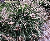 100 Lampenputzergras Samen, Pennisetum alopecuroides, chinese fountain grass