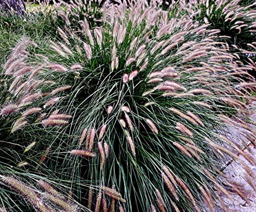 100 Lampenputzergras Samen, Pennisetum...