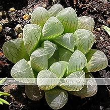Solution Seeds Farm New Rare Variegated Haworthia Cooperi Pilifera Seeds, approx 5 Seeds / Pack