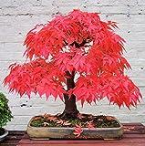 20 PC / arce bolsa de fuego, las hojas de arce, semillas de árboles bonsai, semillas de arce japonés de crecimiento natural para plantar jardín de casa