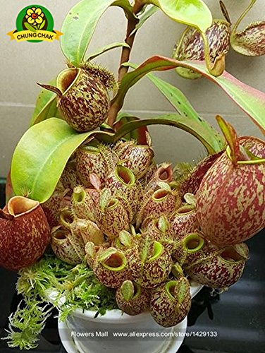 Manger moustiques Plantes carnivores Graines Nepenthes 200pcs / sac Pitcher Tropical Plante Catch Jardin des insectes Bonsai 15 Easy Grow pot