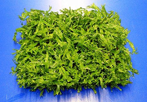 WFW wasserflora Green-Floor gekräuseltes Javafarn/Microsorum pt. Windelov auf Matte ca. 40x130 mm
