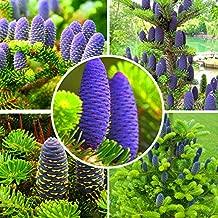 CER0T Egrow 50Pcs/Pack Abies Seeds Christmas Tree Home Garden Bonsai Flower Tree Seeds Garden Plants