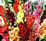 20 Pack Pastel Mixed Gladiolus Bulbs, Perennializing Gladiolus Flower Bulbs