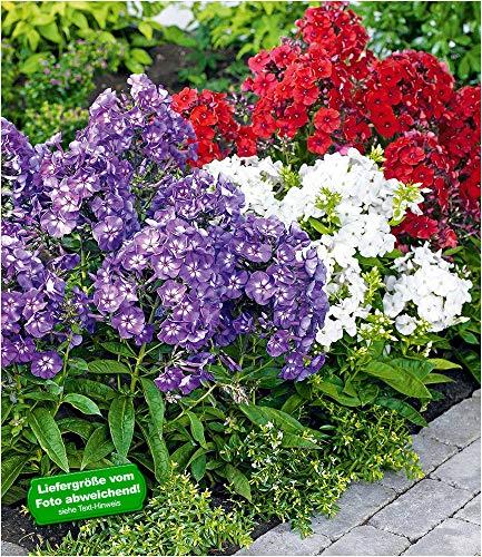BALDUR-Garten Super-Duft-Phlox-Kollektion, 6 Knollen Flammenblume winterharte Stauden Phlox paniculata