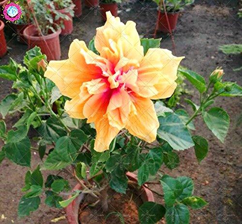 100PCS géant pétales de double graines d'hibiscus rares graines d'hibiscus bleu graines de fleurs Bonsai Plante vivace à l'intérieur pour le jardin à la maison 2