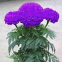 Best chrysanthemum plants for sale Reviews