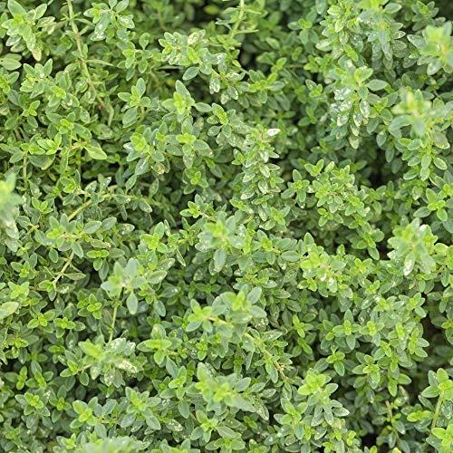 ca. 2000 Samen Echter Thymian - Thymus vulgaris, mehrjährig