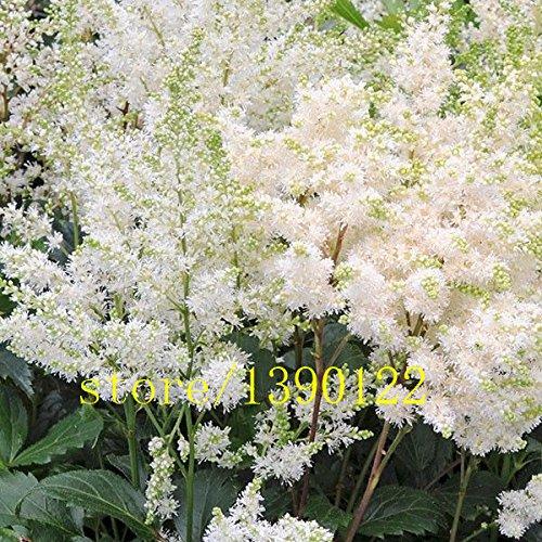 100pcs rosa Astilbe Samen, Astilbe chinensis Pumila Bonsai Blumensamen Staudentopfpflanzen für zu Hause Garten