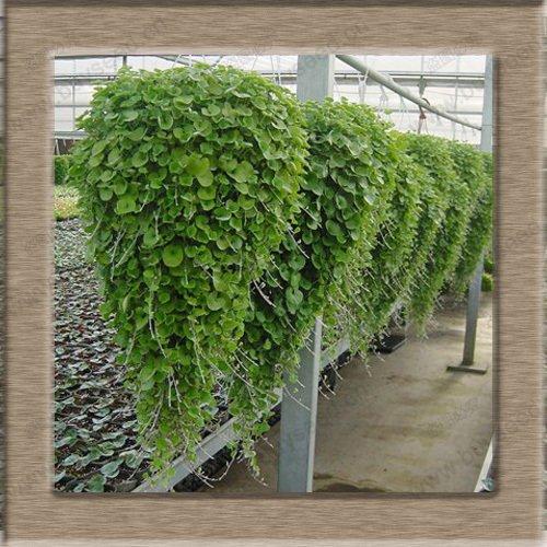 Seed Dichondra Repens Lawn argent Herbe Hanging Jardin des Plantes décoratives do Graines de fleurs 200 particules / sac
