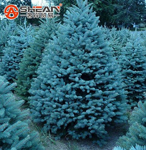¡¡¡Más vendido!!! Paquete de 100 semillas PC Spruce azules planta de los bonsai Picea árbol en maceta de Bonsai Patio Jardín Semillas de árbol de pino